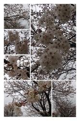 20130328五分咲き-01.jpg